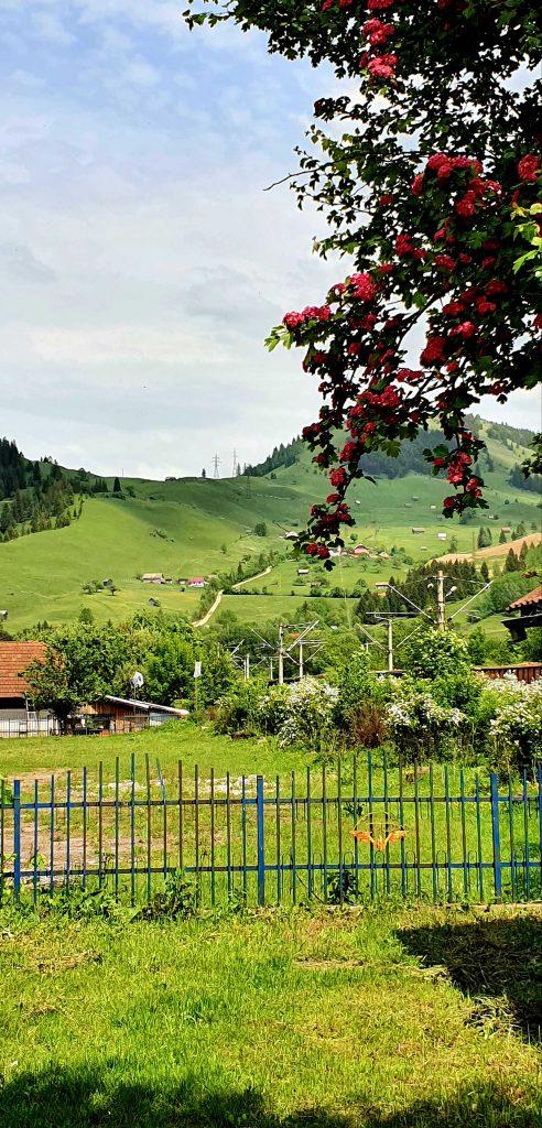 Flori de Pojorâta, Suceava © foto Peter Sragher